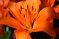 Tiger Lily  (Orange)