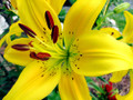 Tiger Lily  (Yellow)