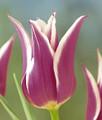 """Tulip """"Ballade"""""""