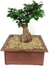 bonsai tree abilene tx