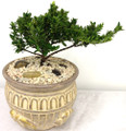 bonsai tree abilene tx
