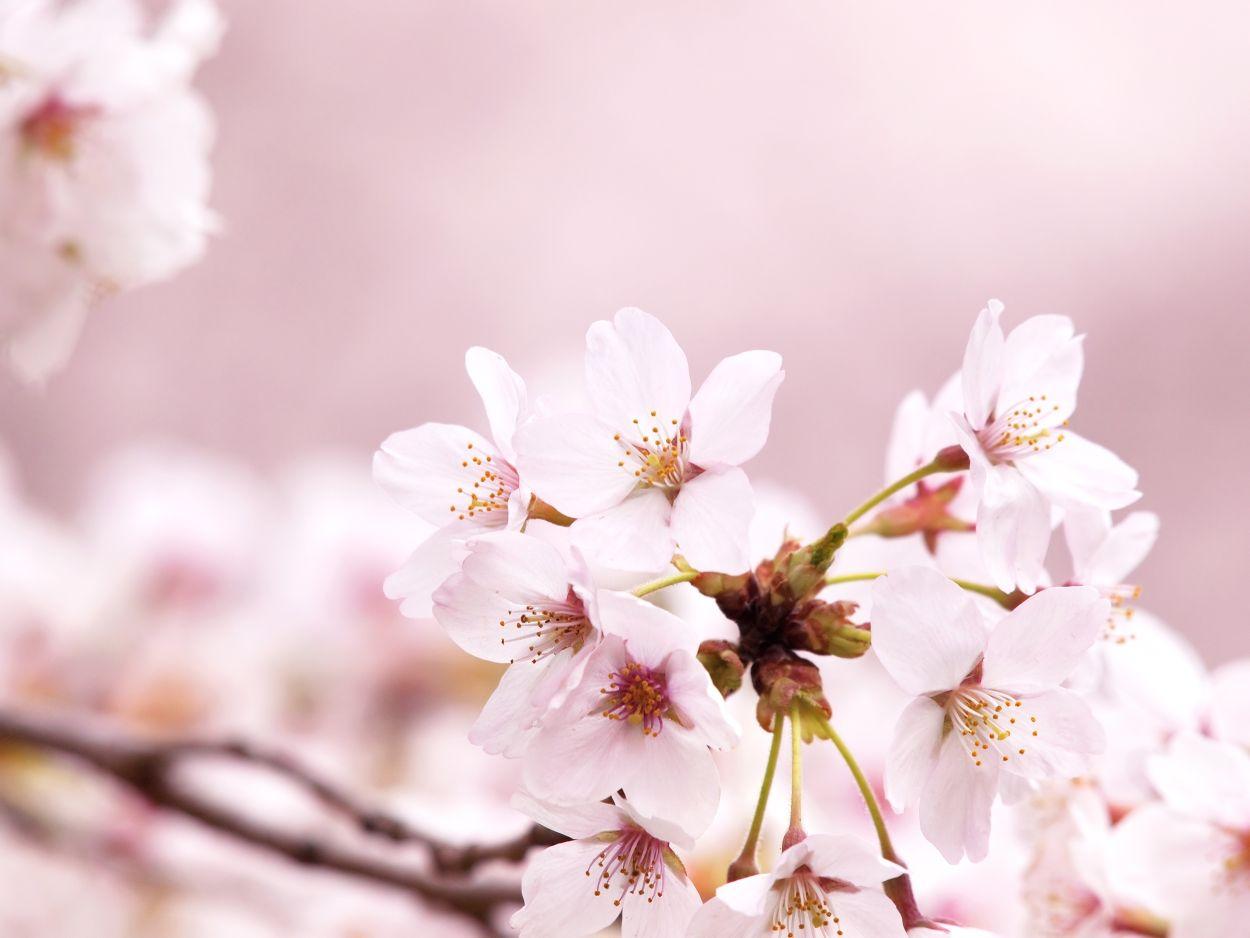 summer-cherry-blossomsnew.jpg