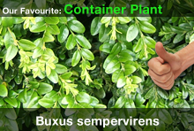 top20-buxussempervirens.jpg