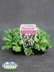 Erigeron