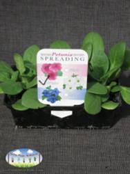 Petunias - Spreading