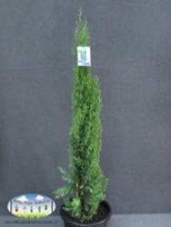 Cupressus 'Glauca'