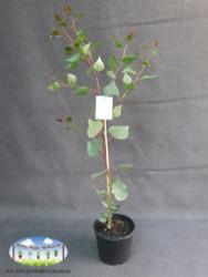 Eucalyptus caesia 'Silver Princess'