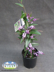 Hardenbergia violacea 'Happy Wanderer'