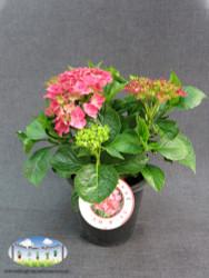 Hydrangea macrophylla cv.