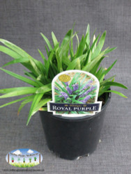 Liriope 'Royal Purple'