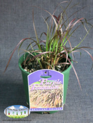 Dwarf Purple Fountain Grass