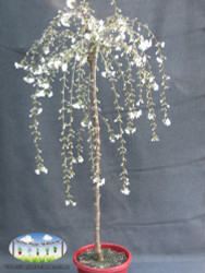 Prunus 'Snofozam' - Snow Fountains®