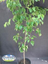 Manchurian Pear