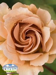 Rose 'Julia's Rose'