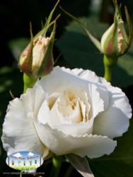 Rose 'Margaret Merril'