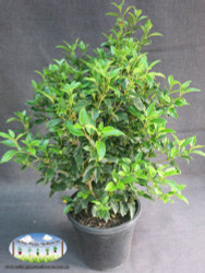 25cm pot size featured in image
