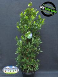 Ficus hillii 'Flash'