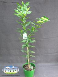 Lime - Citrus hystrix Kaffir