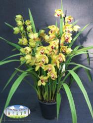 Cymbidium sp. (Boat Orchid)