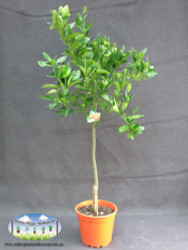 Orange - Citrus sinensis 'Valencia'