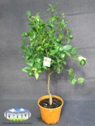 Mandarin - Citrus reticulata 'Imperial'