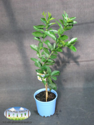 Lime - Citrus latifolia Tahitian (Dwarf)
