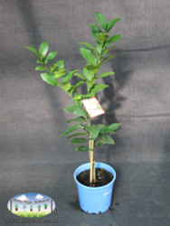 Lemon - Citrus x meyeri 'Meyer' (Dwarf)