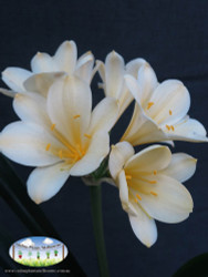 Clivia miniata Cream Form