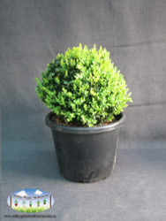Buxus sempervirens (Ball)