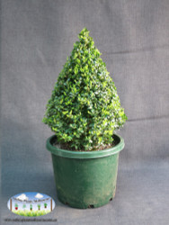 Buxus sempervirens (Cone)
