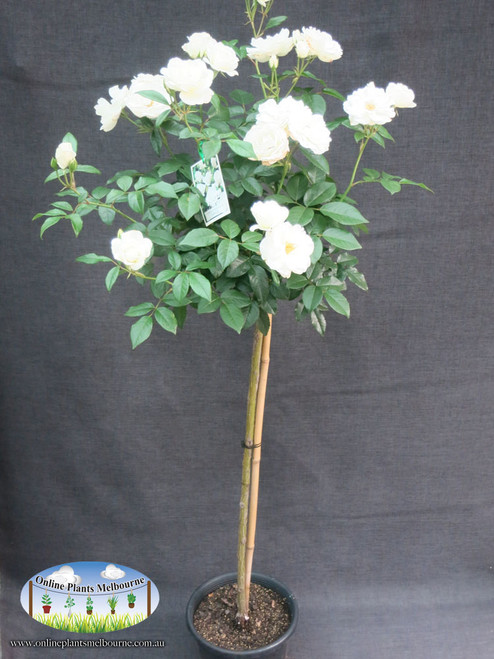 Online plants melbourne iceberg rose for Rosa iceberg