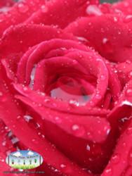 Rose 'Camp David'