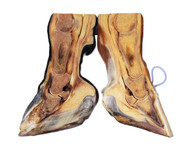 3D hybrid educational hoof model
