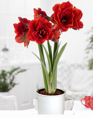 Deep Red Double Flower Amaryllis & Hydro Planter