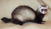 Natural Flea control for Ferrets and Rabbits
