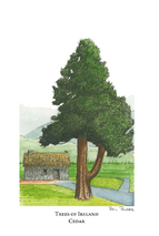 Trees of Ireland - Cedar