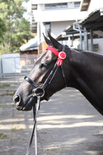 Kallenia Jessica, multiple Royal Show winner and Champion, wearing a WHE Black 3cm Patent Leather Noseband at Sydney Royal 2015.