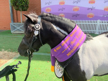 Ivery Park Oreo featured in the WHE Miniature Bridle/Headpiece at 2021 Sydney Royal Show.