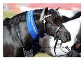 Ivery Park Oreo featured in the WHE Miniature Bridle/Headpiece at 2021 Sydney Royal Show. Please note the bling Browband , Reins nor Bit are not included.