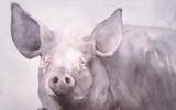 Fine Pig Print by Hilary Austen