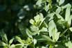 alfalfa-leaf.jpg