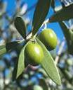 olive-leaf.jpg