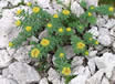 rhodiola-rosea-in-the-wild.jpg