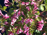 Assorted Weigela No. 2 Pot