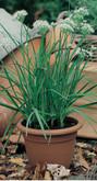 Chives Garlic