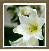 white lily (small)