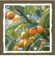 Mandarin sage (votive)