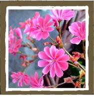 pink jasmine (4pk)
