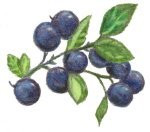 Wild Blue Point Blueberry ~ 16 oz