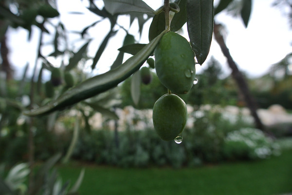 dew-on-olives.png